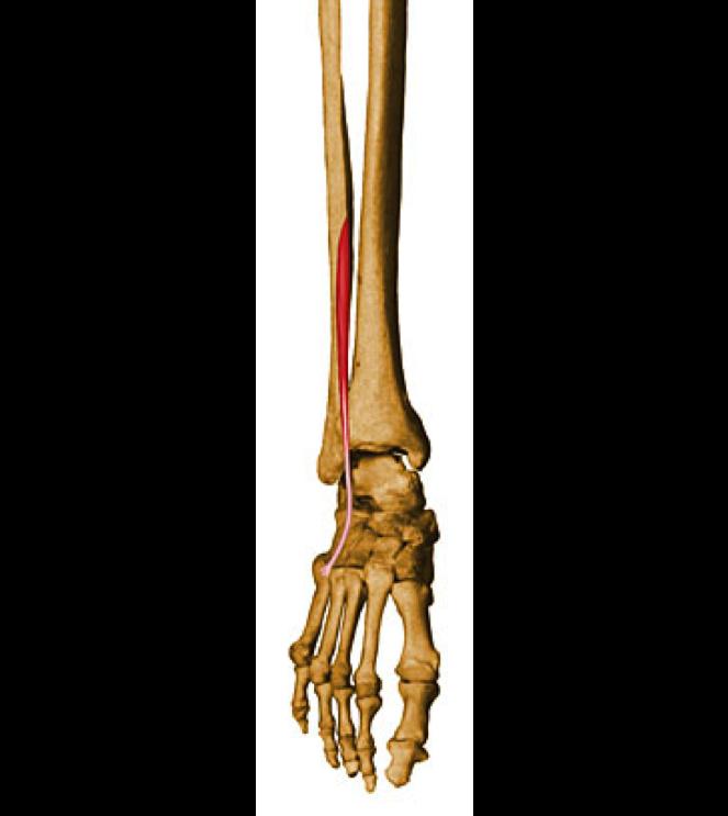 The 5 P\'s of anatomy | Perthosophy
